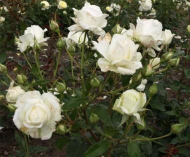 Троянда Karen Blixen интернет-магазин