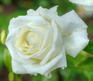 Троянда Karen Blixen купить онлайн