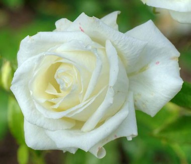Троянда Karen Blixen в киеве