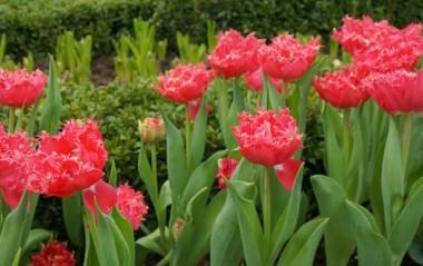 Тюльпан Kingston купить онлайн