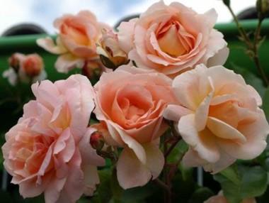 Троянда плетиста Amaretto почтой