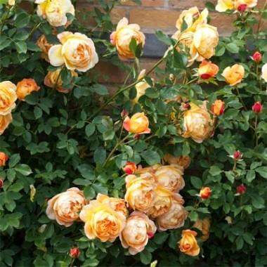 Троянда Lady of Shalott фото цена