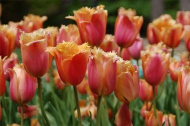 Тюльпан Lambada почтой