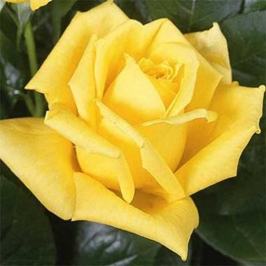 Троянда Landora интернет-магазин