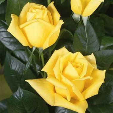 Троянда Landora купить онлайн
