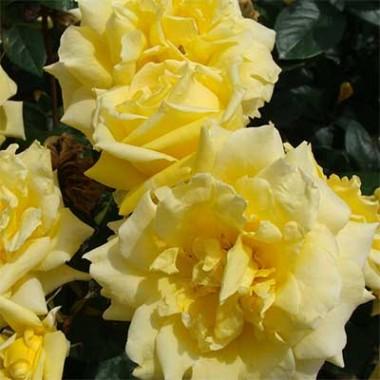 Троянда Landora фото