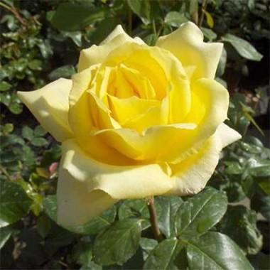 Троянда Landora в киеве