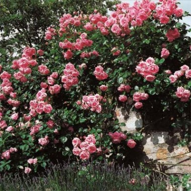 Троянда плетиста Lawinia фото