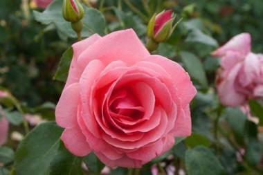 Троянда плетиста Lawinia описание