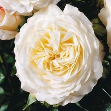 Троянда Ledreborg интернет-магазин