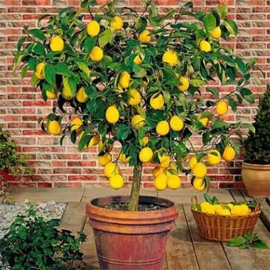 Лимон Мейєра почтой