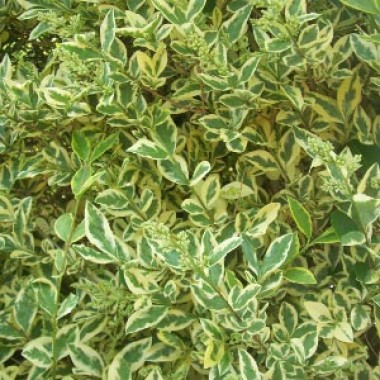 Лігуструм Argenteum фото цена