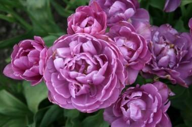 Тюльпан Lilac Perfection фото цена
