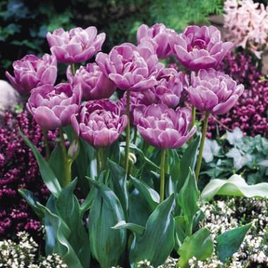 Тюльпан Lilac Perfection почтой