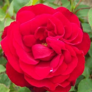 Троянда Lilli Marleen смотреть