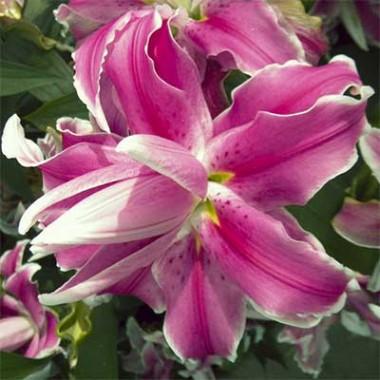 Лілія Lilac Cloud описание