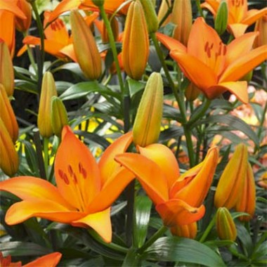 Лілія Orange Ton в киеве