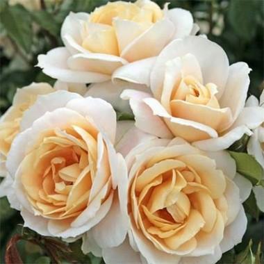 Троянда Lions Rose почтой