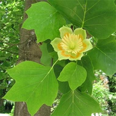 Тюльпанове дерево смотреть