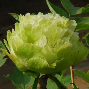Півонія Green Jade Lu Mu Ying Yu деревовидна описание