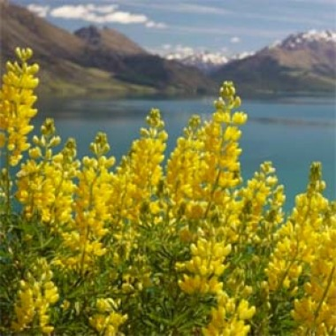 Люпін Russel Hybrids Yellow фото