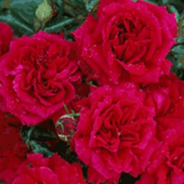 Троянда Fetzer Syrah Rose (Madrigal) в киеве