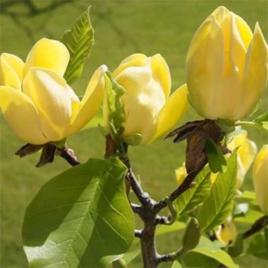 Магнолія Yellow Bird фото цена