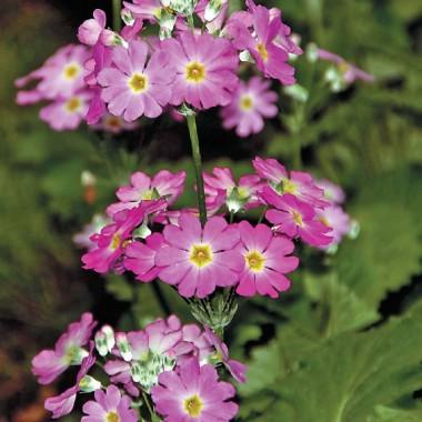 Насіння квітів