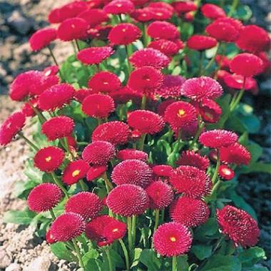 Стокротка Бал Роз, червона фото цена