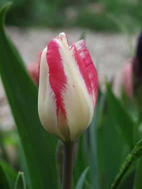 Тюльпан Mata Hari почтой