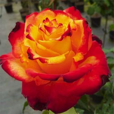 Троянда Mein Munchen в киеве