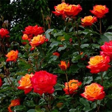 Троянда Mein Munchen смотреть