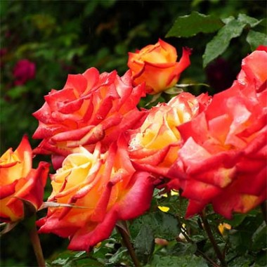 Троянда Mein Munchen интернет-магазин