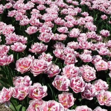 Тюльпан Melrose смотреть