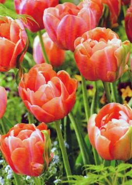 Тюльпан Menton Exotic фото цена