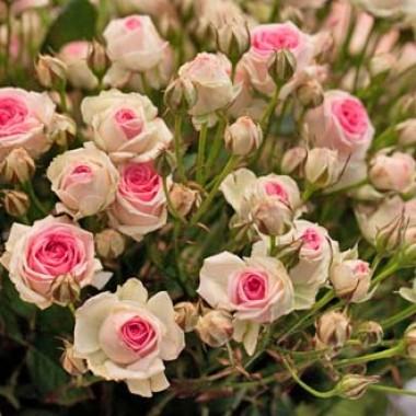 Троянда Mimi Eden фото цена