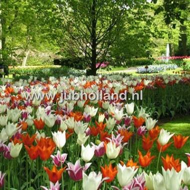 Мікс Elegant Lilies описание