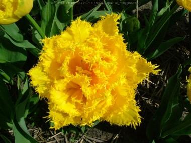 Тюльпан Mon Amour купить онлайн
