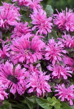 Монарда Cranberry Lace фото цена