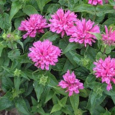 Монарда Petit Pink Delight фото