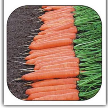 Морква Монтана фото