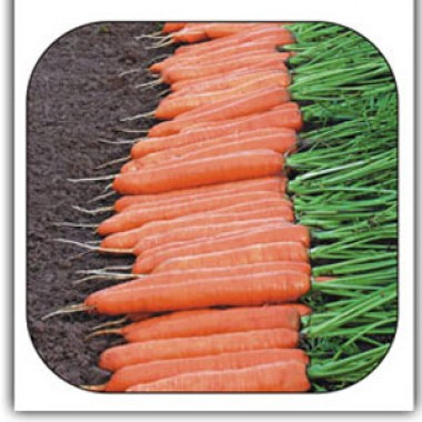 Морква Монтана смотреть
