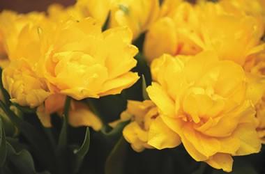 Тюльпани купить