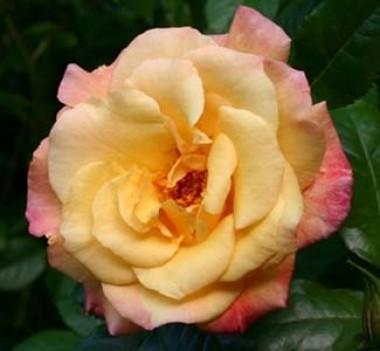 Троянда Moonlight фото цена