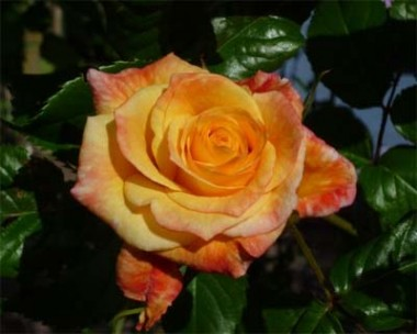 Троянда Moonlight купить онлайн