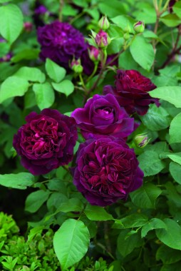 Троянда Munstead Wood фото