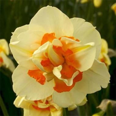 Нарцис Flower Parade почтой