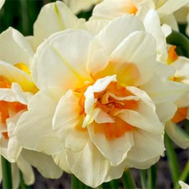Нарцис Flower Parade в киеве