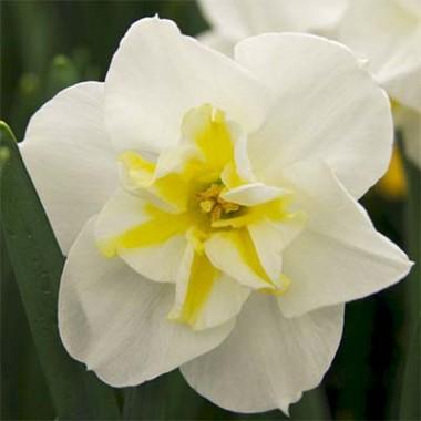 Нарцис Lemon Beauty фото