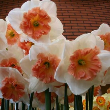 Нарцис Precocious описание